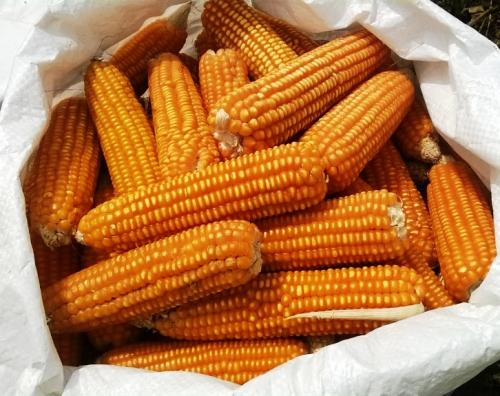 Raw unprocessed Maize