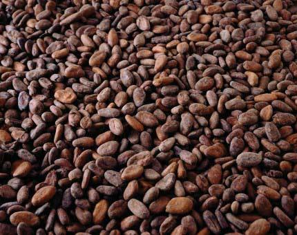 Cocoa beans supplied by Savenco Ltd